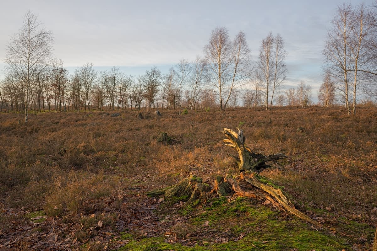 Wilseder Berg in der Lüneburger Heide Totholz Naturschutzgebiet